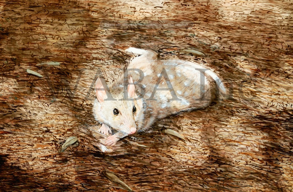 Quoll in Patched Light, Paul James, watercolour, 500 x 300 mm (SOLD)