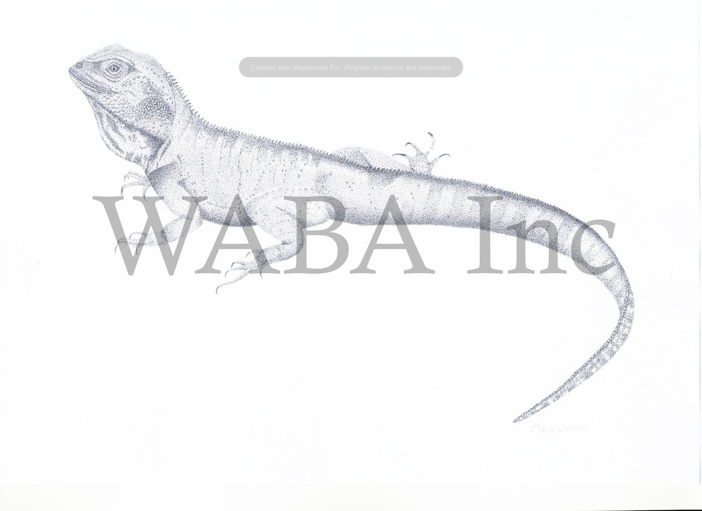 Australian Water Dragon, Margaret Wattam, ink, 420 x 450 mm
