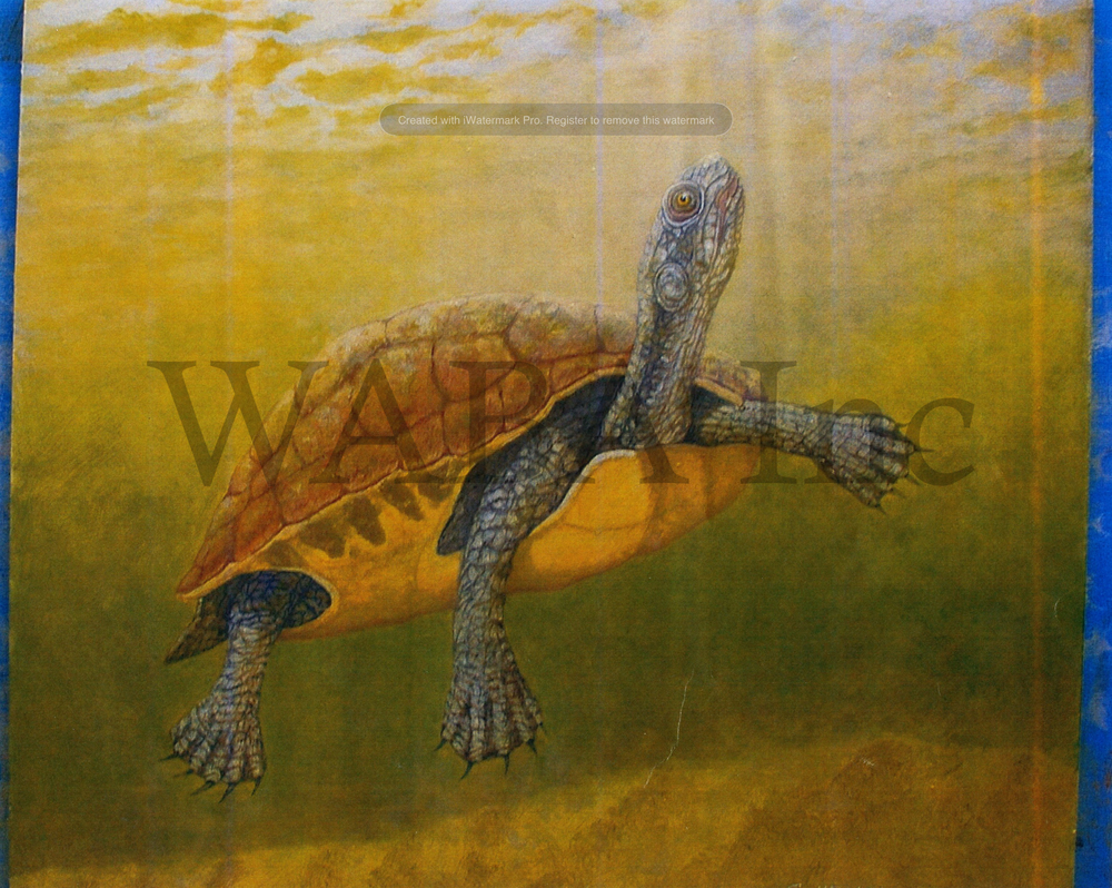 Mary River Turtle, Gerry Heyen, oil, 500 x 600 mm