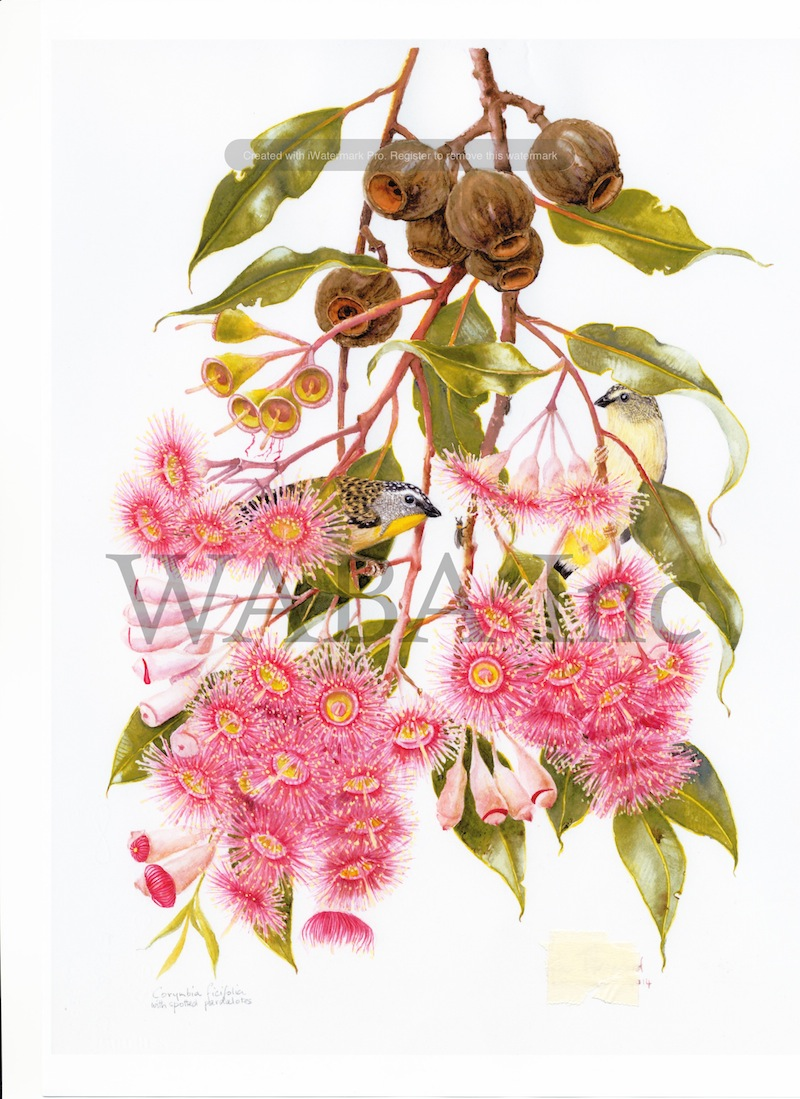 Spotted Pardelots in Eucalyptus ficifolia , Helen Fitzgerald, watercolour, 560 x 450 mm