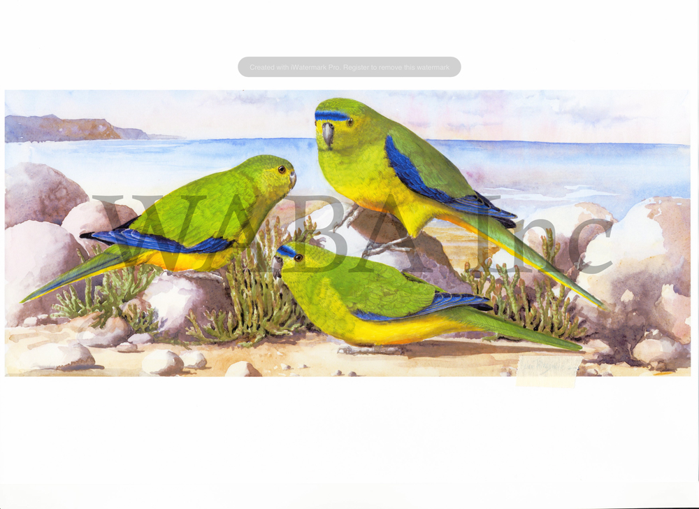 Orange Bellied Parrot, Helen Fitzgerald, watercolour, 410 x 630 mm
