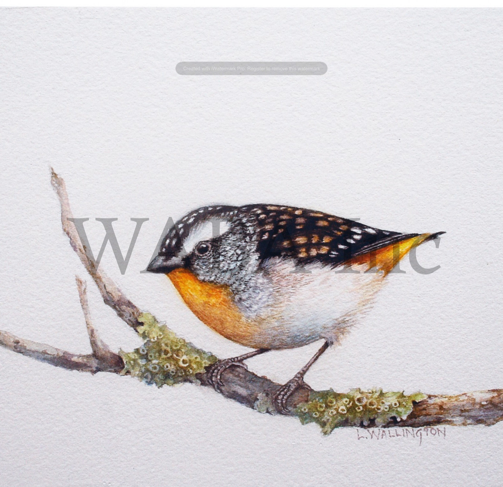 Spotted Pardelote, Lesley Wallington, watercolour, 210 x 170 mm (SOLD)
