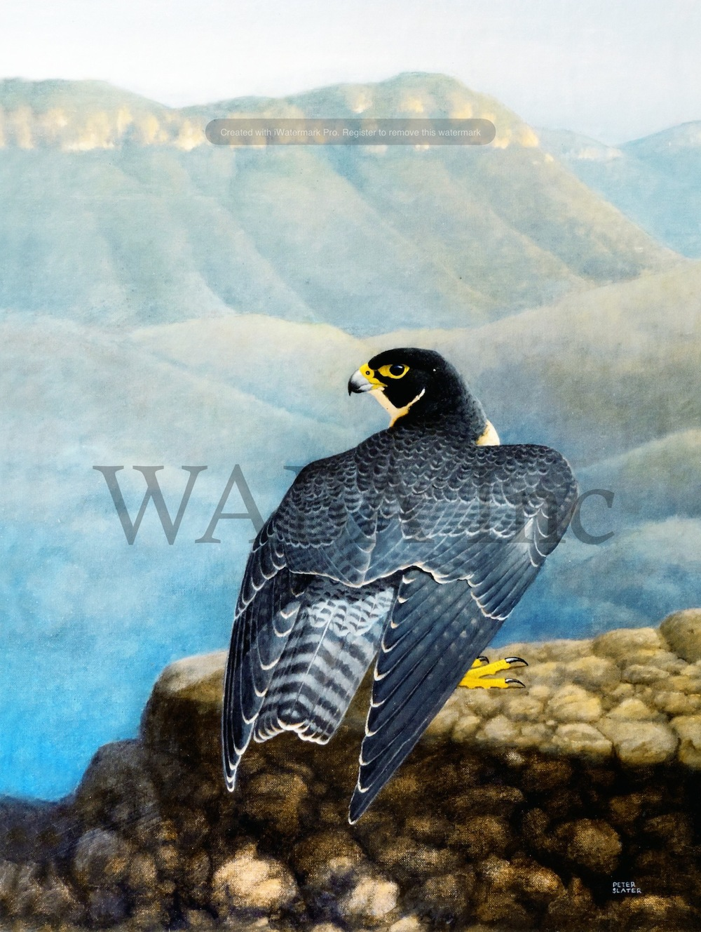Peregrine Falcon, Peter Slater, acrylic, 1000 x 860 mm
