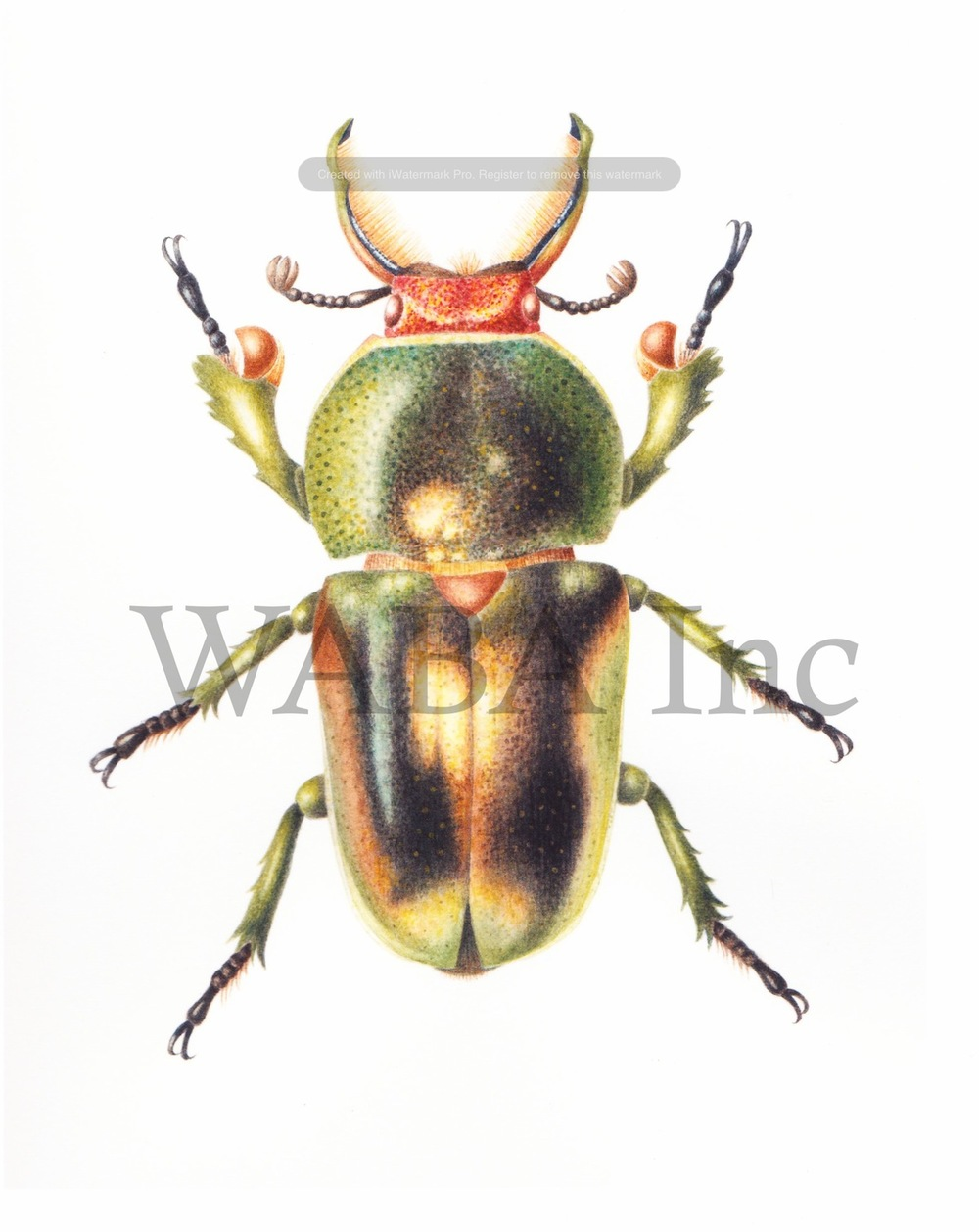Golden Green Stag Beetle, Cheryl Hodges, watercolour, 190 x 150 mm