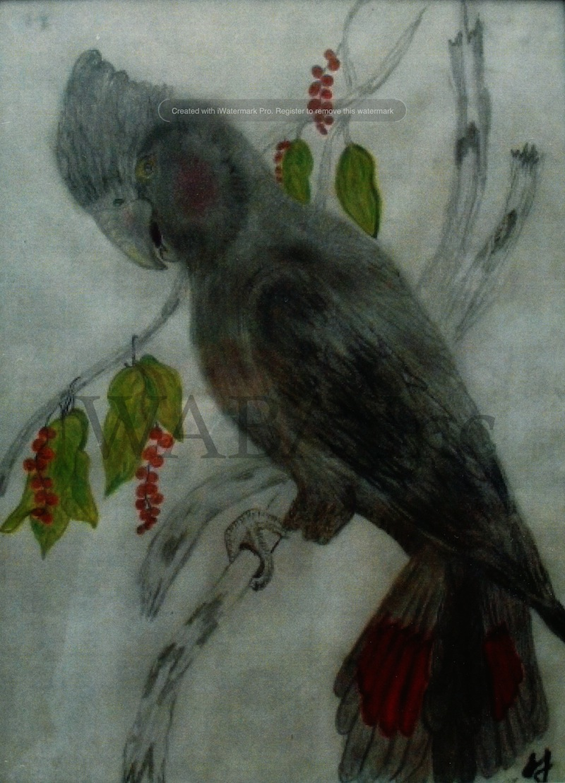 Red Cockatoo, Sarah Jane Lewis, pencil, 420 x 300 mm