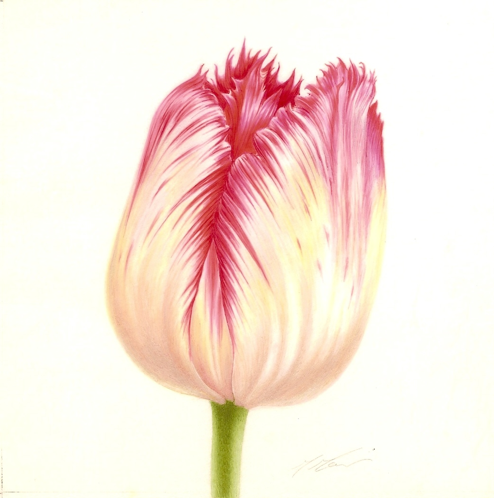 Tulipa   - Burgundy Lace,  Mali Moir, Framed o  riginal watercolour on vellum,   340mm W x 360mm