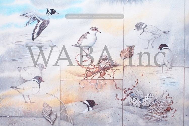Best natural history theme.    Pages From My Sketchbook - Hooded Plovers, Lesley Wallington, water media and pencil, 700 x 470 mm (SOLD)
