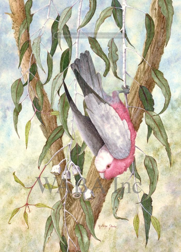 Eolophus (Cacatua) roseicapillus roseicapillus.jpg