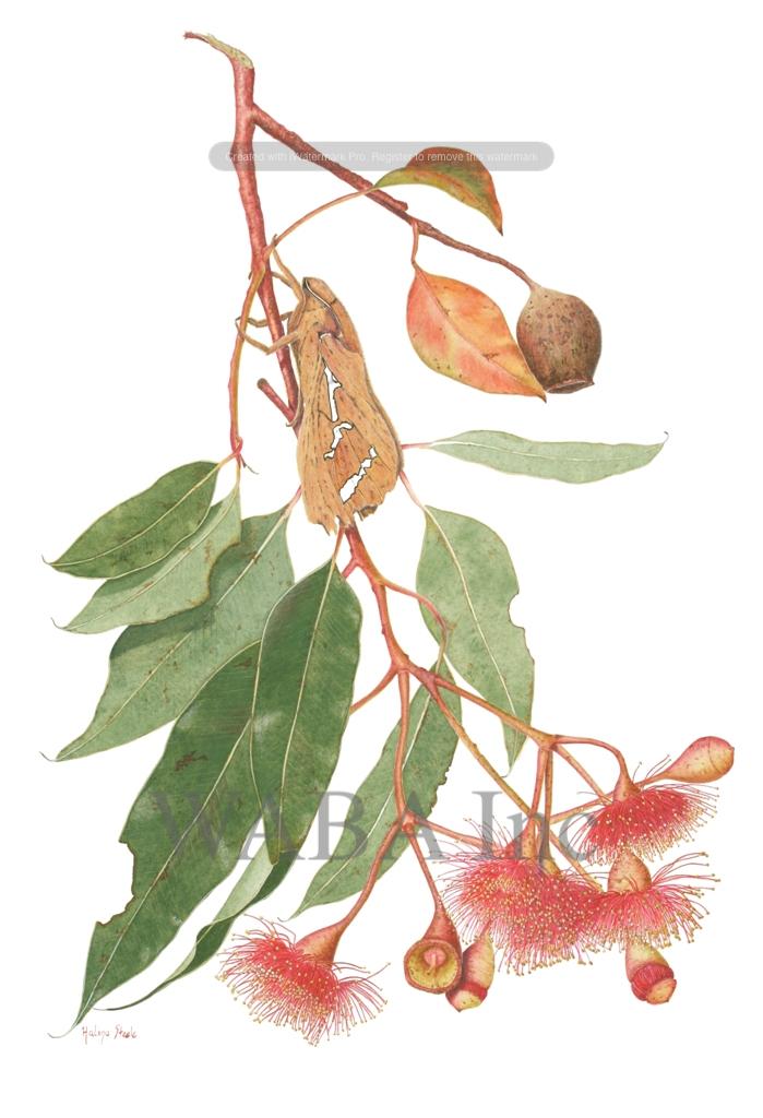 Corymbia ficifolia & Abantiades hyalinatus.jpg