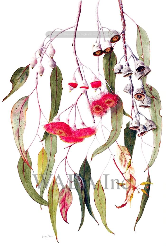 Eucalyptus caesia.jpg