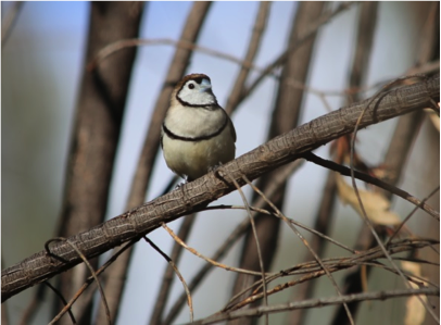 Double-barred Finch, photograph by Julia and Alan Landford