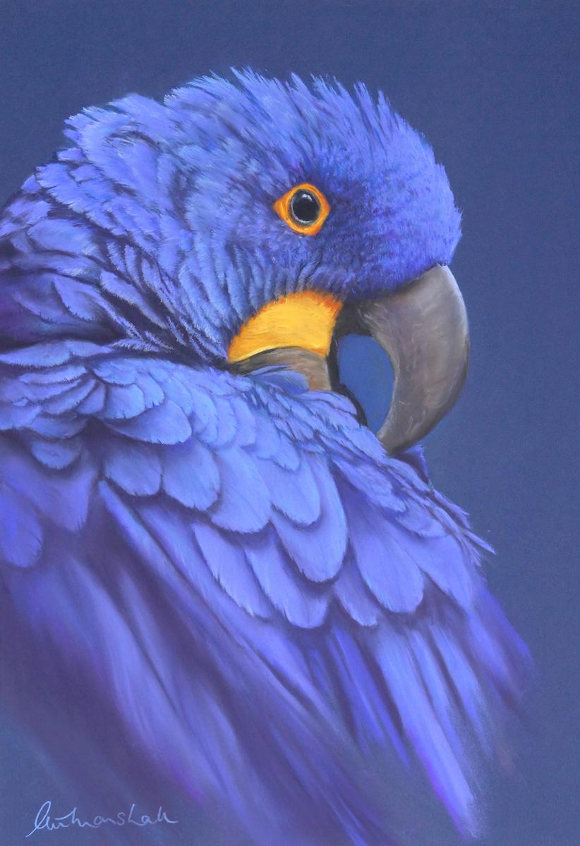 Marshall P.Hyacinth Macaw.Study.jpg