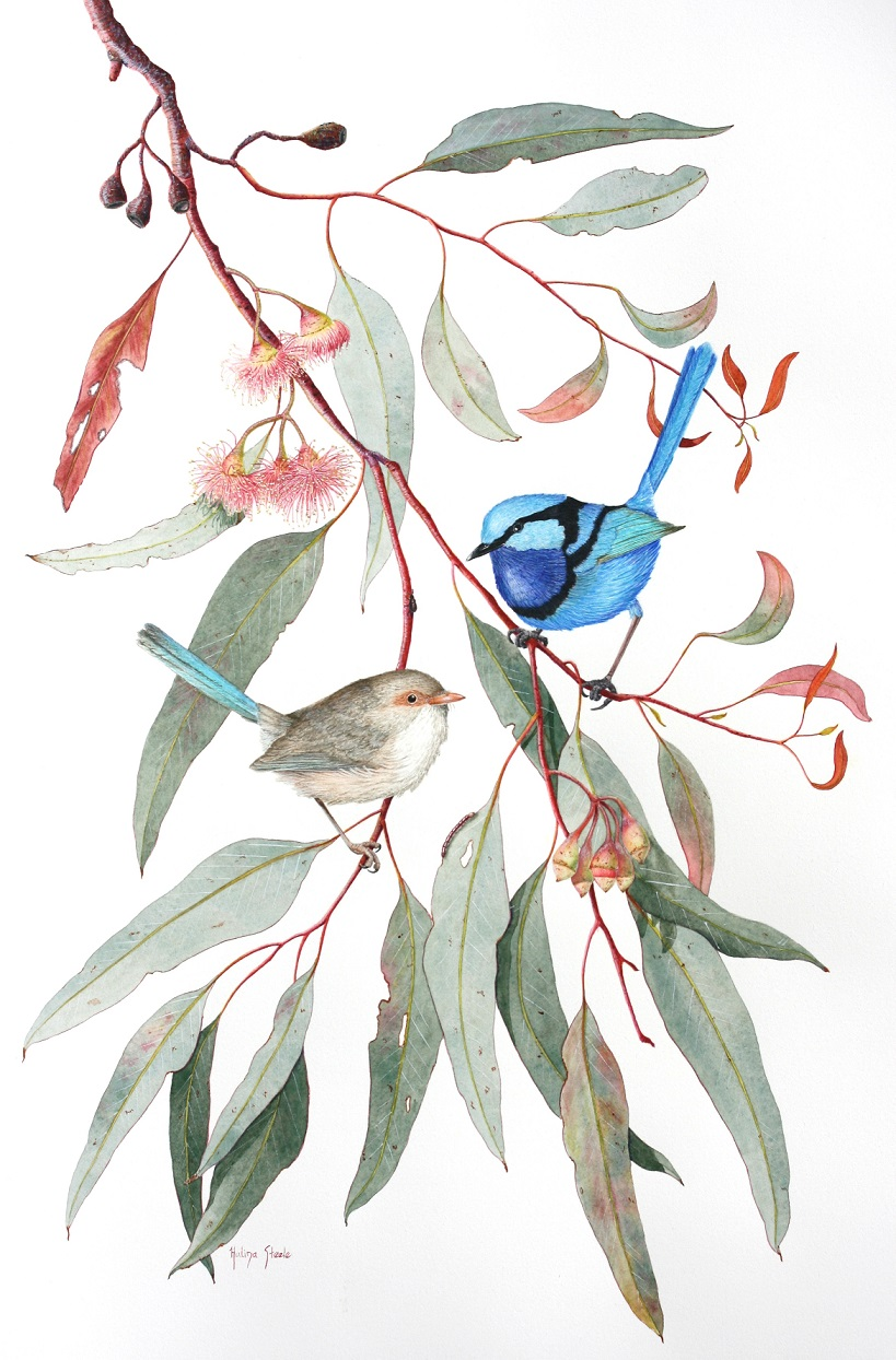 Malurus splendens on Eucalyptus sideroxylon (Card)