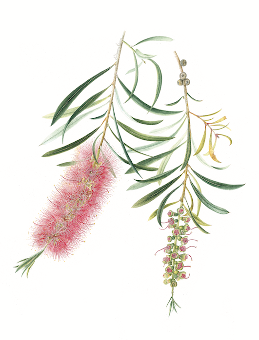Callistemon citrinus (Crimson Bottlebrush) (Card)