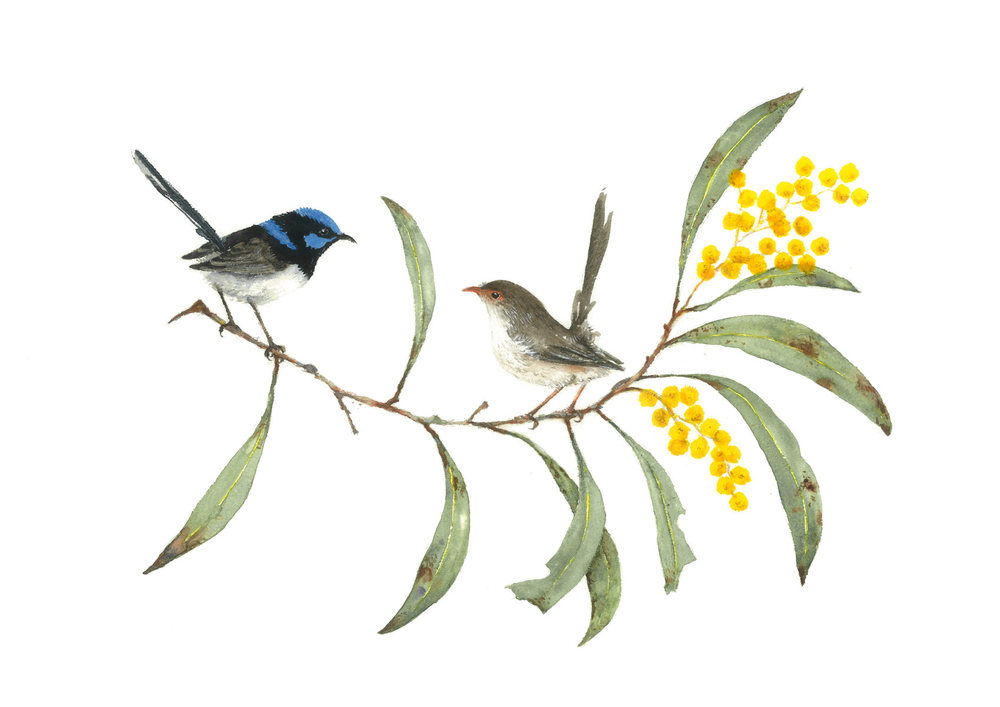 Wrens in Wattle (Card)