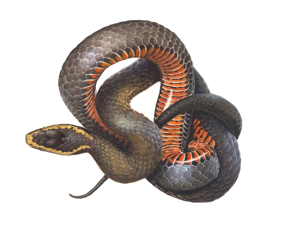 Snake (Card)