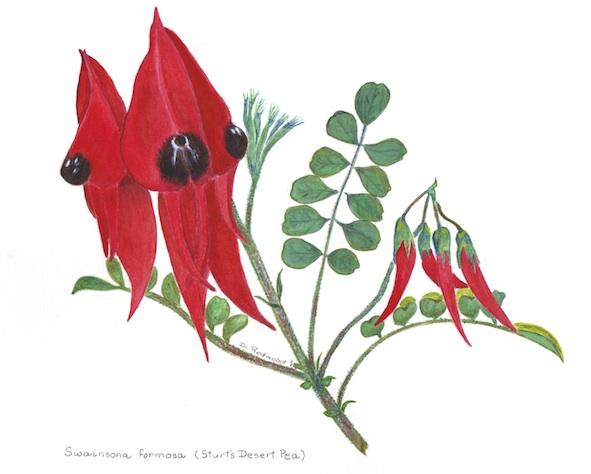swainsona (Card)