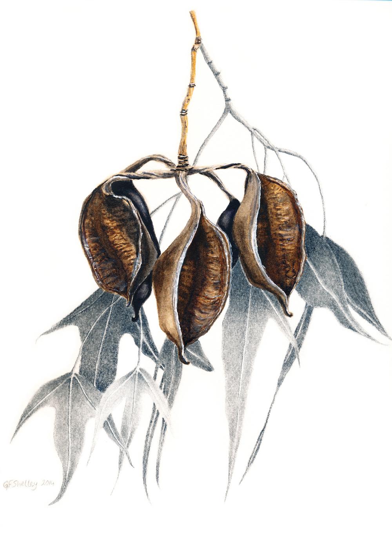 Brachychiton populneus subsp. trilobus (Card)