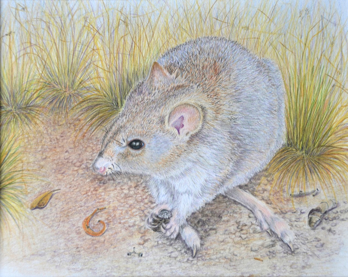 Bitaburra Bettong (Card)