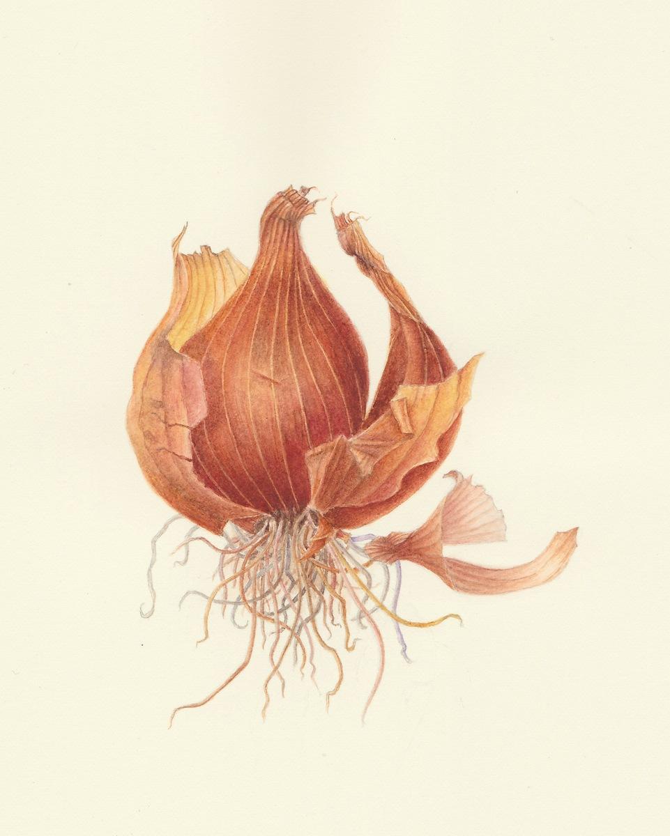 Allium ascalonium Red Shallot