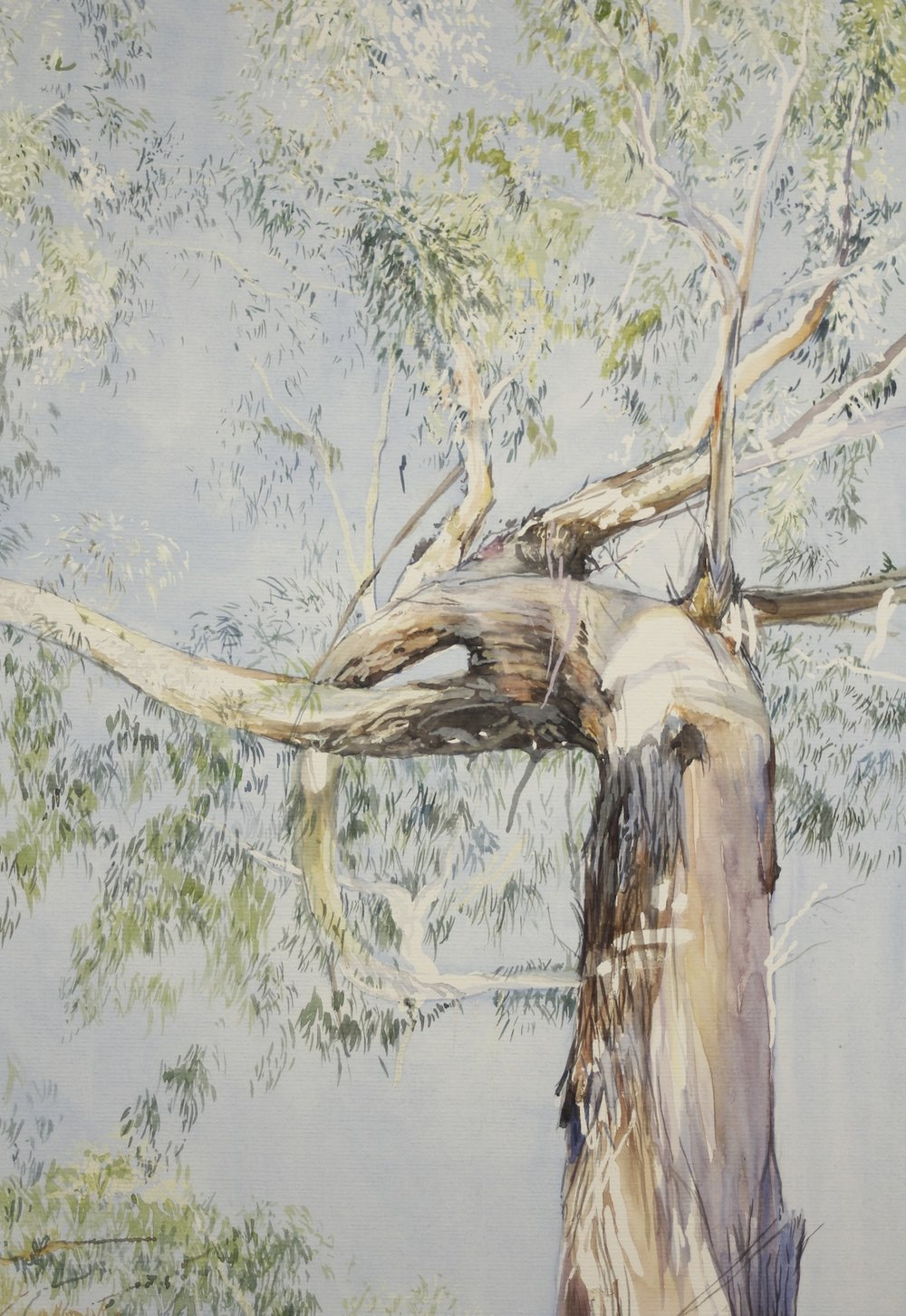 Eucalypt regrowth after fire
