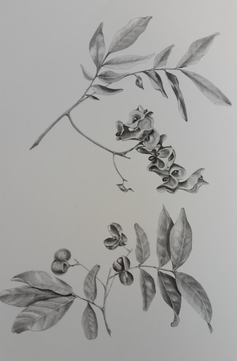 Harpulia pendula and parachidendron pruinosum