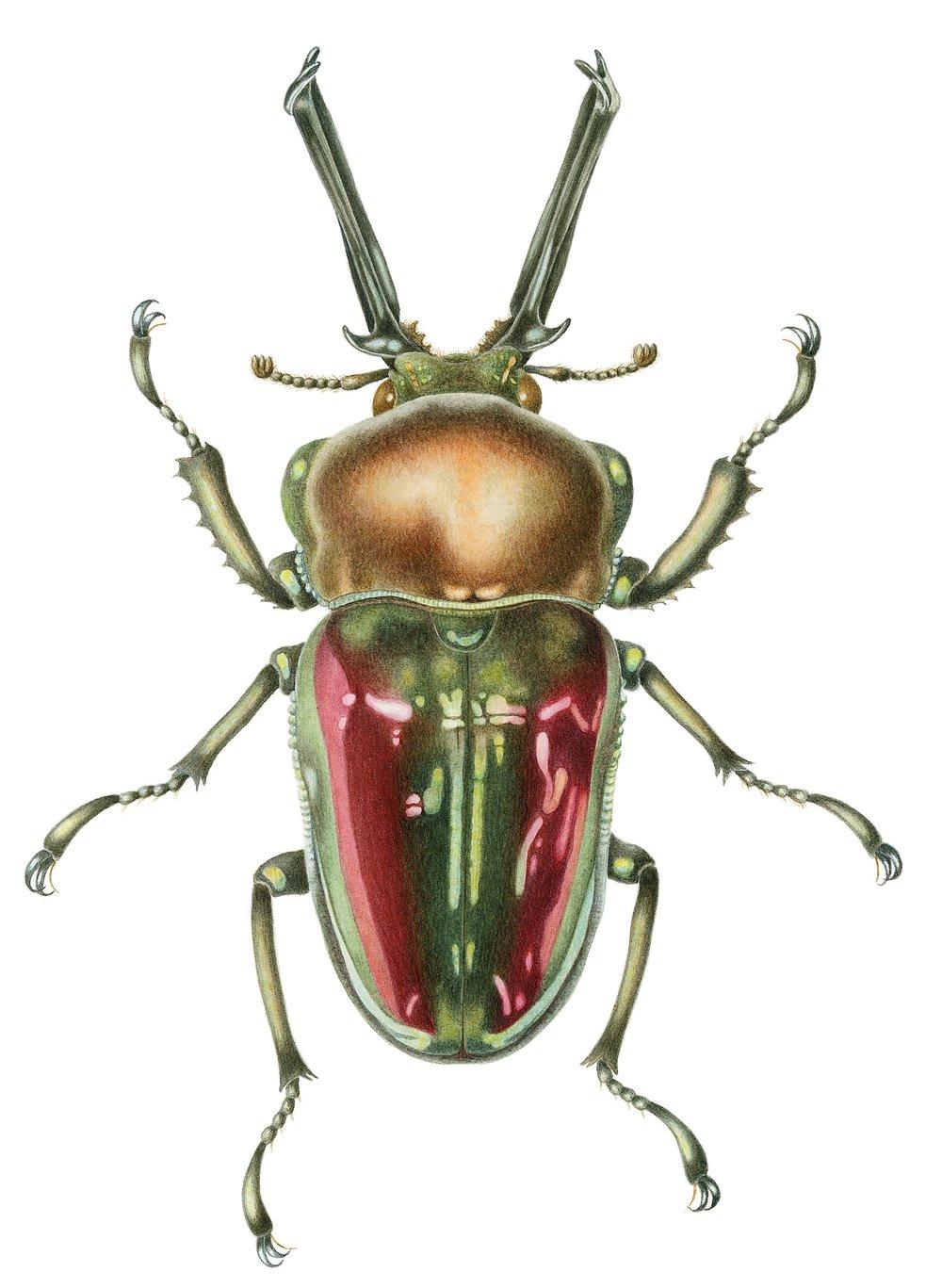 rainbow stag beetle best cropped version.jpg