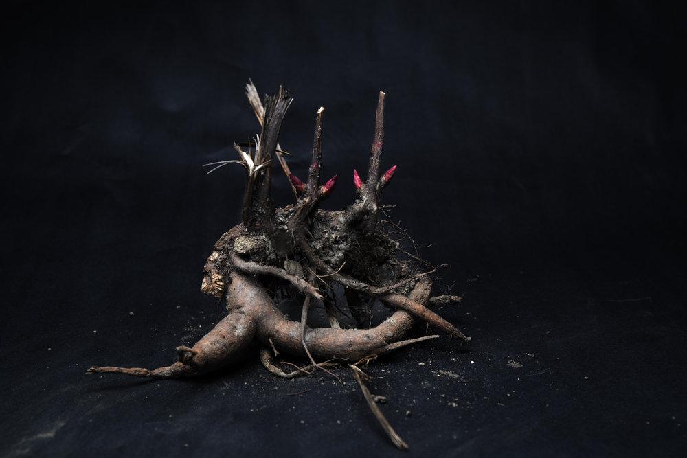 Petunia Root Stock