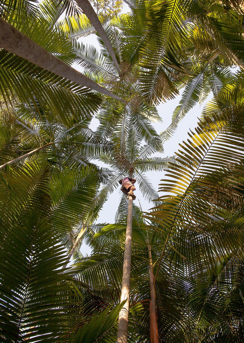 Açai harvest, Ilha de Marajó