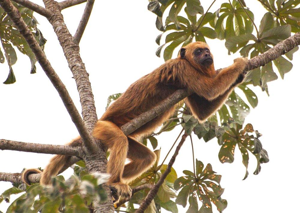 Macaco Bugio-2170.jpg