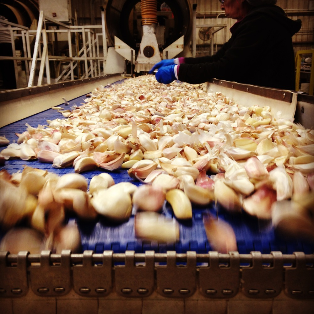 garlicprocessing