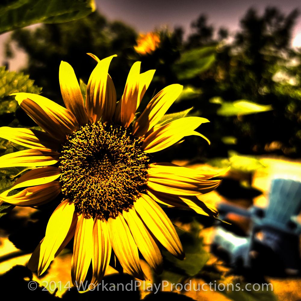 sunflower 1 yellow.jpg