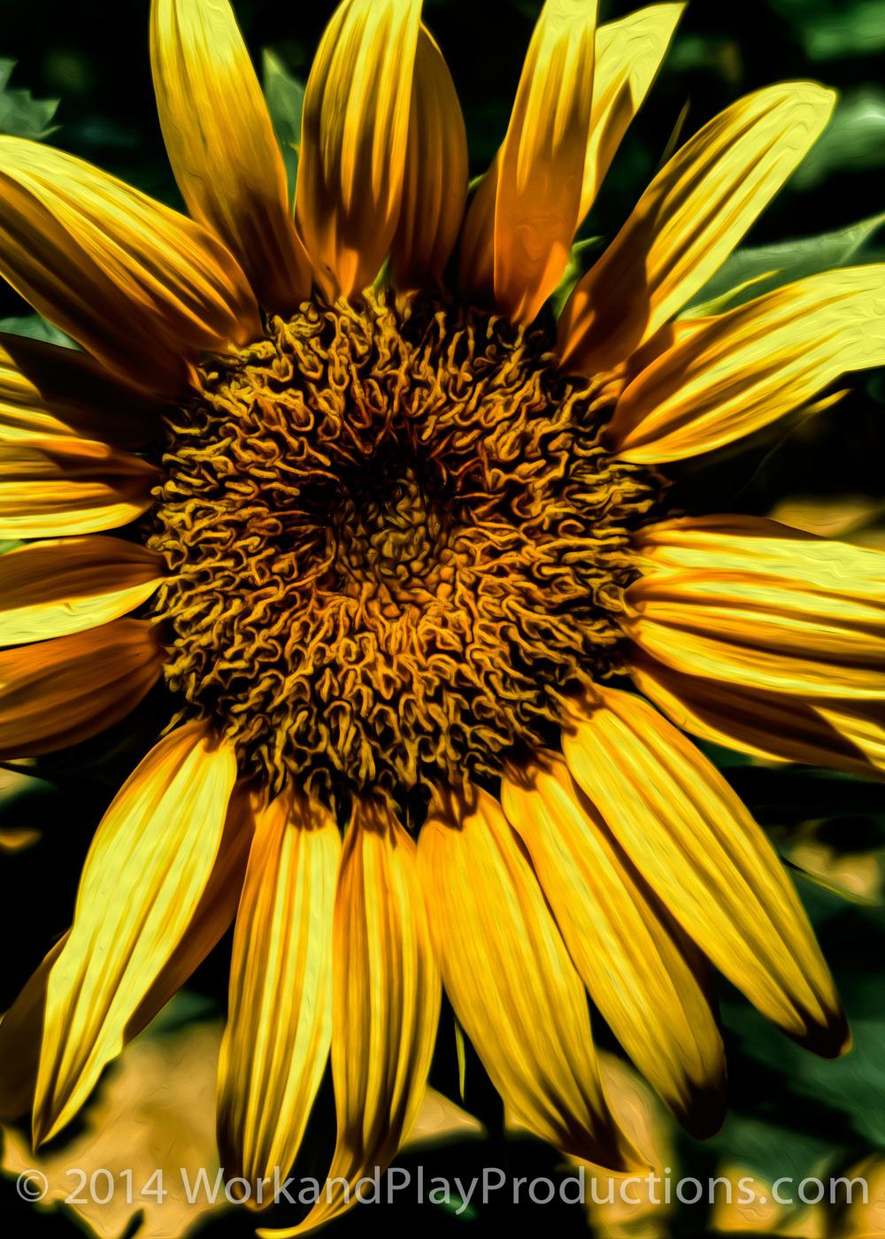 sunflower crop 2.jpg