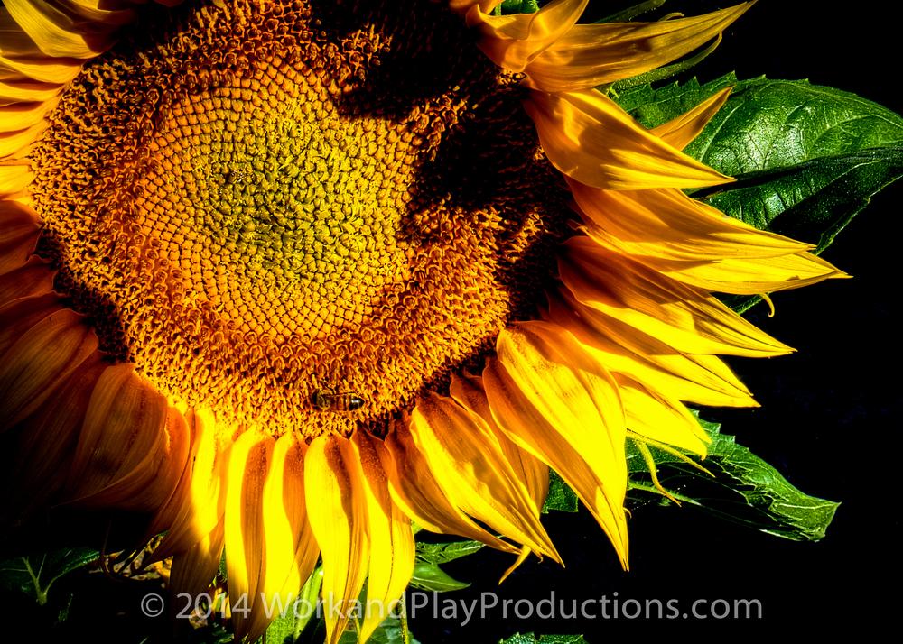 sunflowr bee 1a.jpg