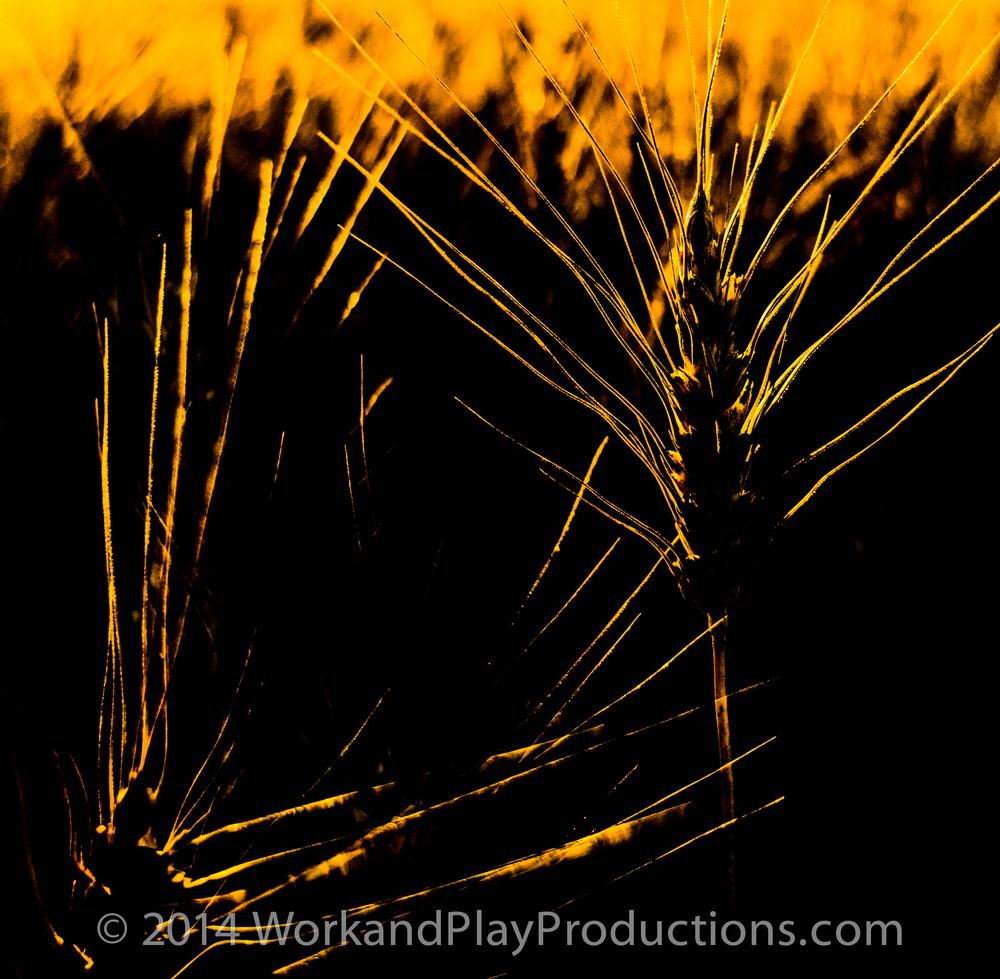 wheat square.jpg