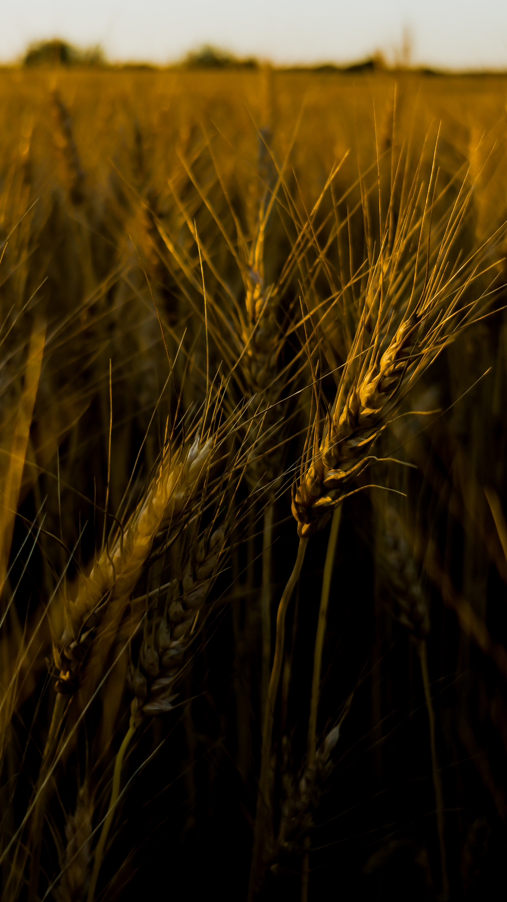 wheat 3a crop.jpg