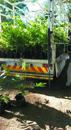 Taking delivery of 1,000 Dendrocalamus Asper plants by a farmer in KZN.    These will be planted around a Macadamia nut plantation.