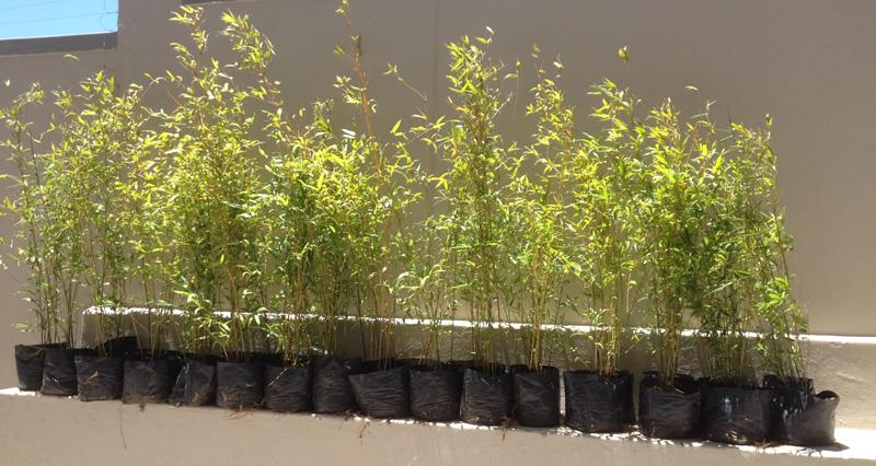 Bambusa Tuldoides.jpg