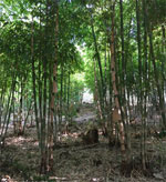 balcooa-bamboo2.jpg