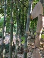 balcooa-bamboo3.jpg
