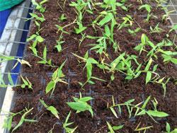 bamboo-plants-propagatedb.jpg