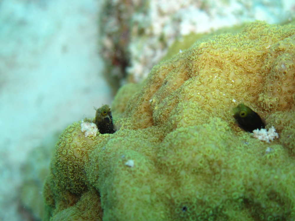 Two Blenny' in a coral head