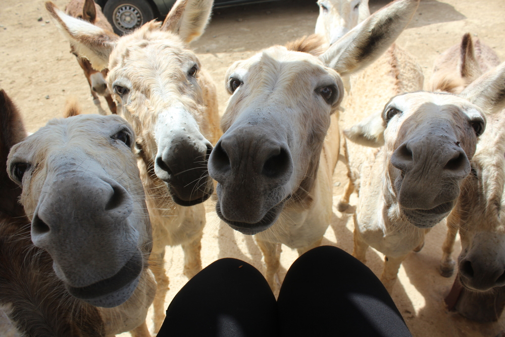 Attack of the donkeys :)