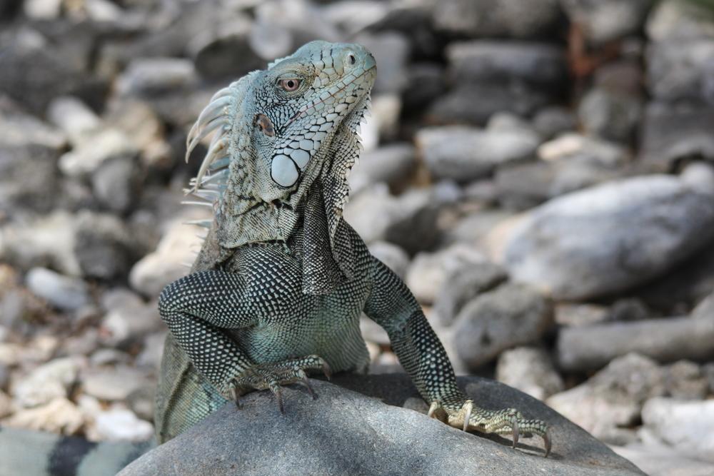 Beautiful Iguana