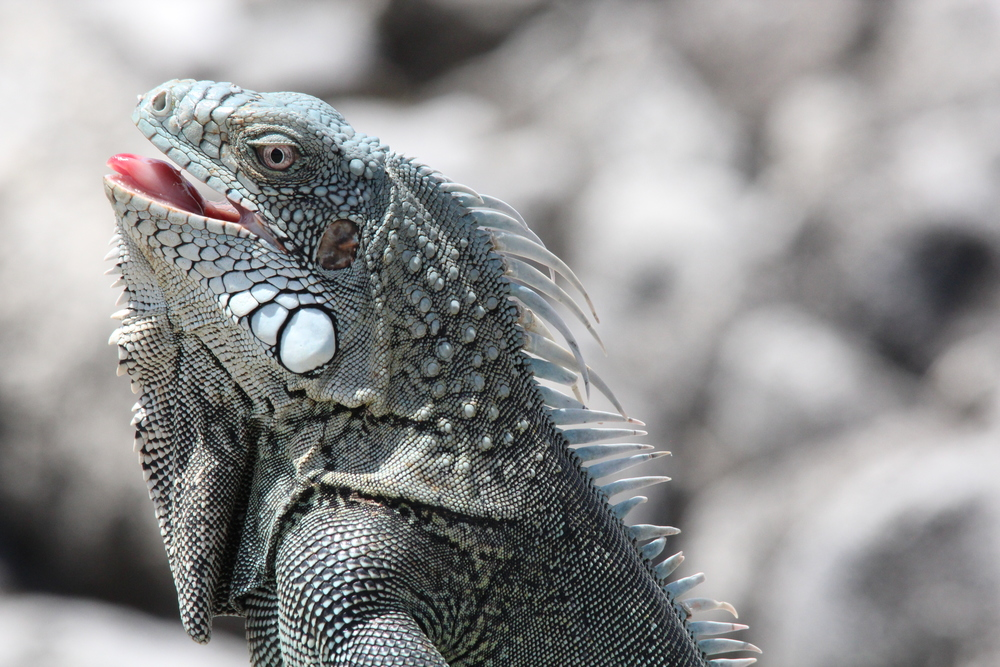 The Iguana was panting like a dog :0