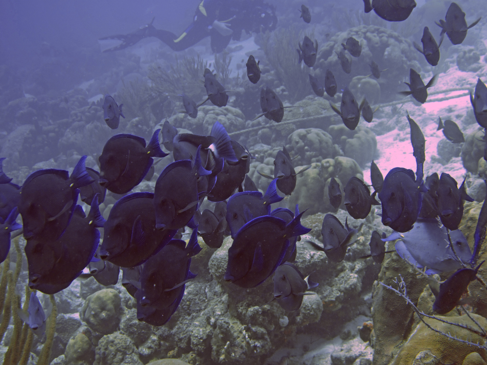 A School of Dory Fish or Blue Tangs