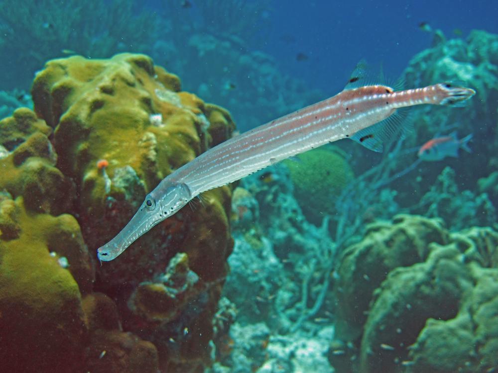 An Odd-Shaped Swimmer a Trumpetfish