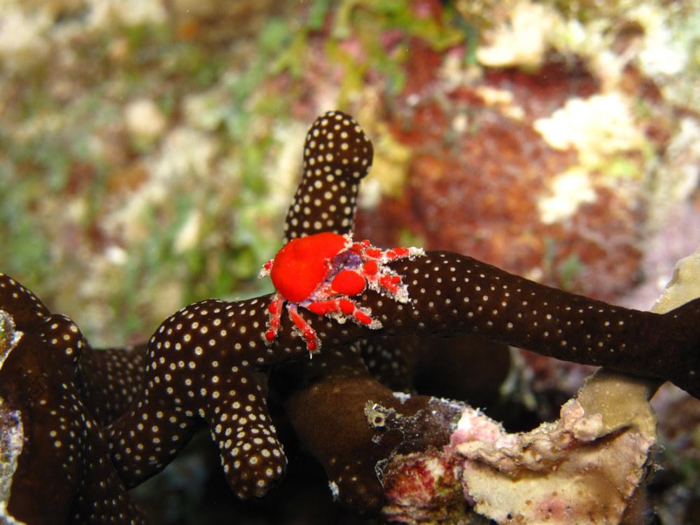 A tiny teardrop crab