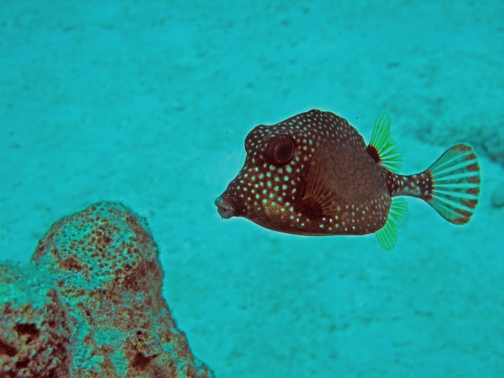 Smooth Trunkfish, My Favourite :0