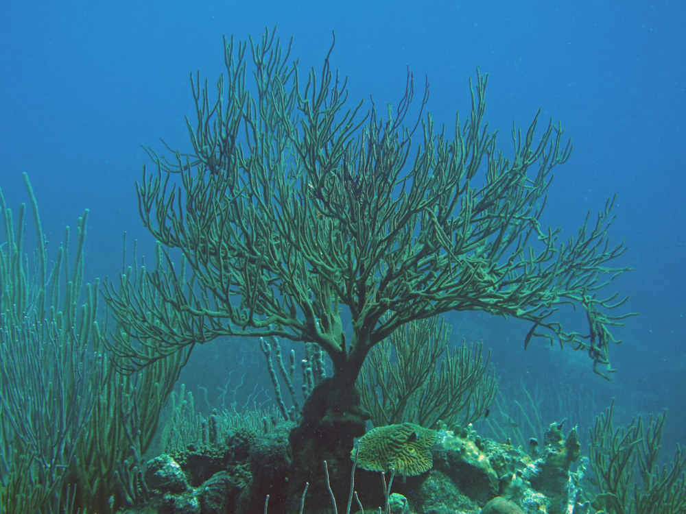 Coral that looks like trees